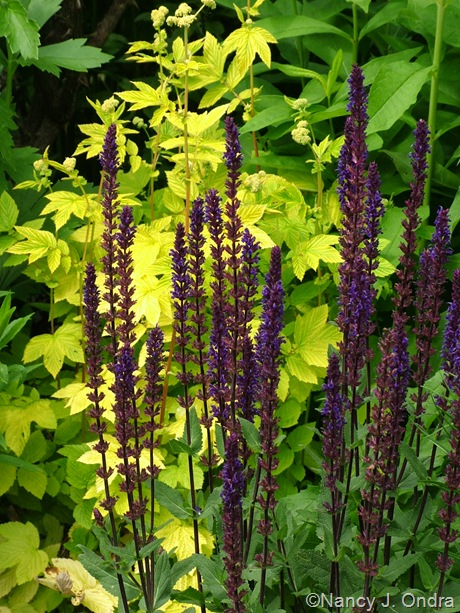 Salvia 'Caradonna' against Filipendula ulmaria 'Aurea'