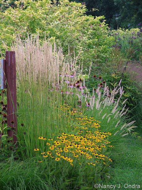Rudbeckia fulgida var fulgida with pennisetum orientale for Oriental grass