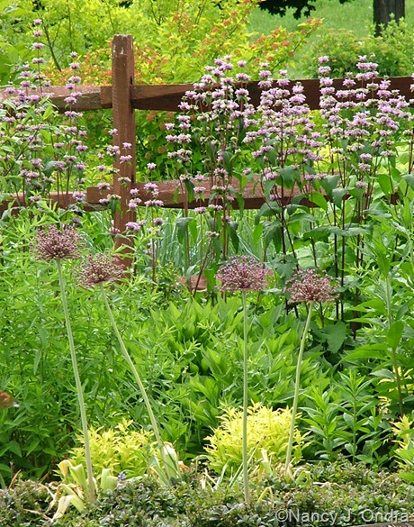 Allium atropurpureum with Phlomis tuberosa 'Amazone', Diervilla sessilifolia, Deutzia gracilis 'Duncan' [Chardonnay Pearls], and Ajuga reptans 'Valfredda' [Chocolate Chip]