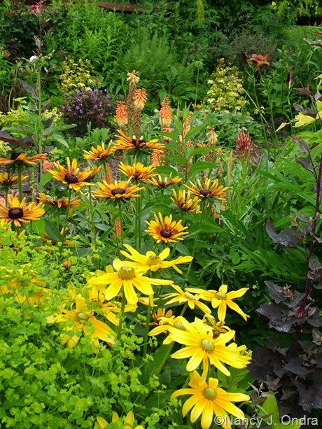 Rudbeckia hirta 'Prairie Sun' and 'Chim Chiminee' with Euphorbia 'Golden Foam' and Kniphofia 'Flamenco' June 28 2100