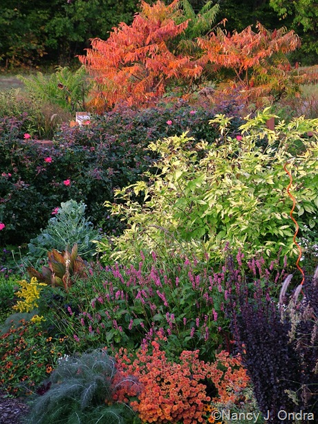 Sambucus nigra 'Aurea' with Persicaria amplexicaulis 'Taurus', an orange mum, Rosa 'Radrazz' (Knock Out), and Rhus typhina 'Laciniata' Oct 8 2008