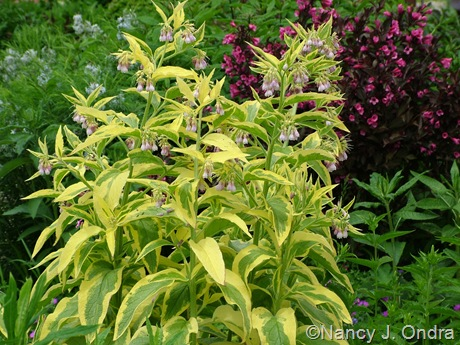 Symphytum x uplandicum 'Axminster Gold' with Amsonia hubrichtii and Weigela florida 'Alexandra' (Wine and Roses) May 19 2011