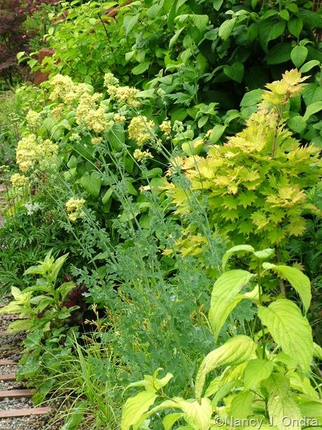 Thalictrum flavum subsp. glaucum with Cornus sericea subsp. occidentalis 'Sunshine', Acer shirasawanum 'Aureum', and Phytolacca americana 'Silberstein'