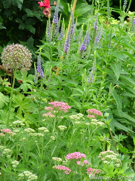 Achillea 'Pink Grapefruit' with Allium and Veronica grandis