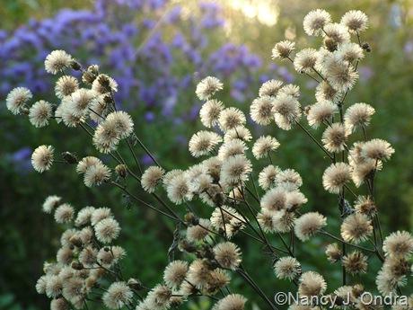 Vernonia seedheads Oct 10 2010