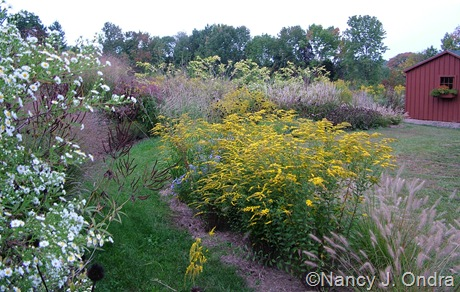 Solidago rugosa 'Fireworks' with Pennisetum alopecuroides 'Cassian' Sept 27 2007