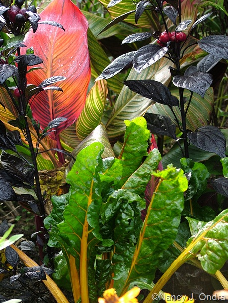 Canna 'Phaison' (Tropicanna), Capsicum annuum 'Black Pearl' and Swiss chard 'Orange Fantasia' Oct 4 08