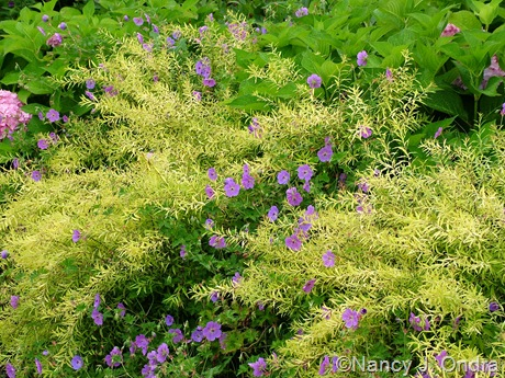 Spiraea thunbergii 'Ogon' (Mellow Yellow) with Geranium 'Gerwat' (Rozanne) July 22 2009