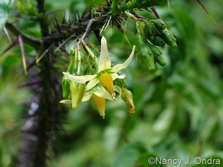 Solanum atropurpureum July 26 2011