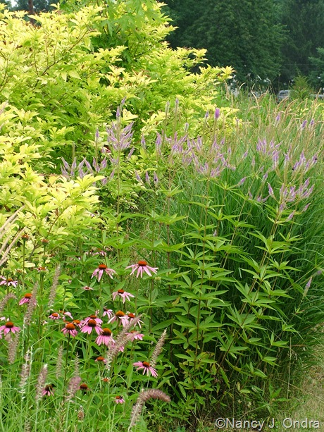 Veronicastrum 'Fascination' with Sambucus nigra 'Aurea' and Echinacea purpurea July 2011