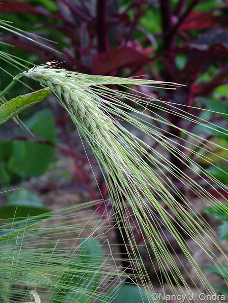 Hordeum vulgare 'Variegated' July 2011