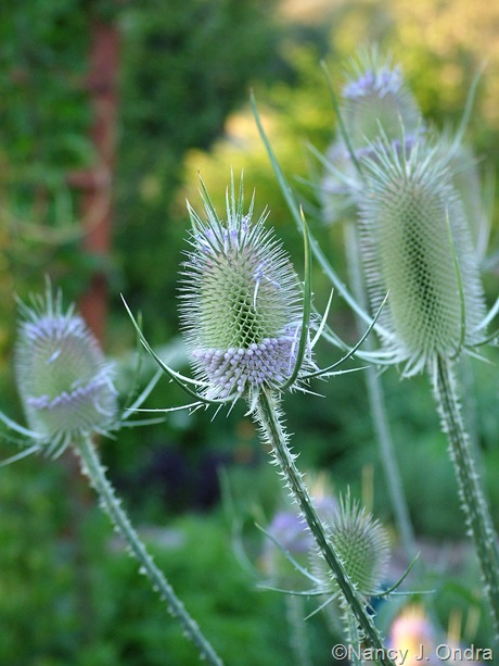 Dipsacus fullonum July 2011