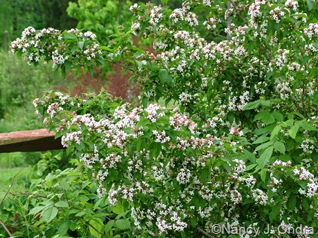 Abelia mosanensis May 19 2011
