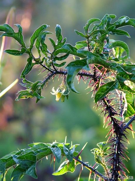 Solanum atropurpureum July 2011