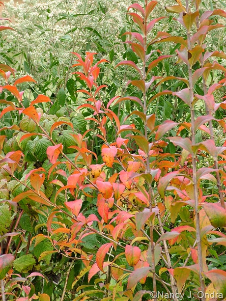 Abelia mosanensis fall color October 18 2009
