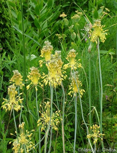 Allium flavum July 2011