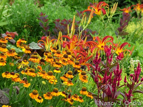Helenium 'Helbro' (Mardi Gras) with Celosia spicata and Hemerocallis 'Nona's Garnet Spider' July 2011