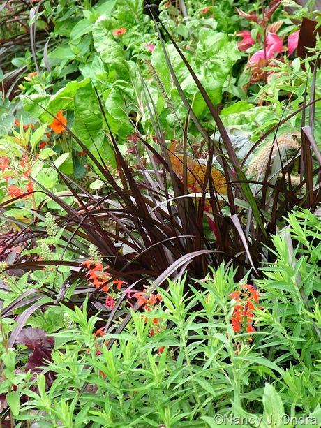 Pennisetum purpureum 'Vertigo' July 2011