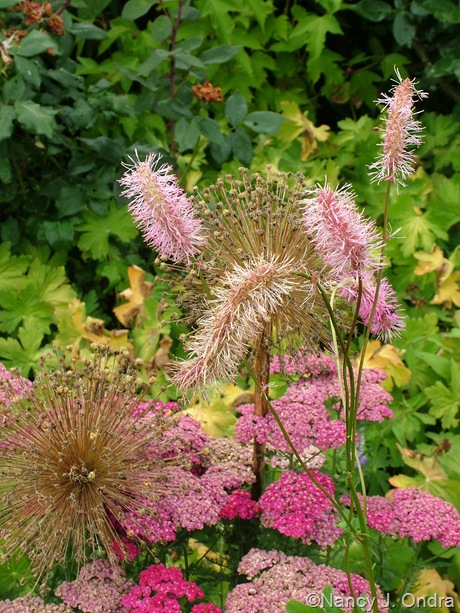 Sanguisorba obtusa, Achillea 'Saucy Seduction', and Allium July 2011