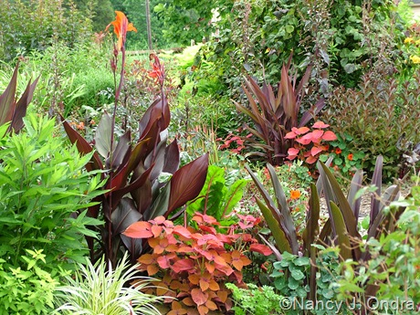 Canna 'Australia' and 'Wyoming', Solenostemon scutellarioides 'Sedona', and Eucomis comosa 'Oakhurst' July 2011