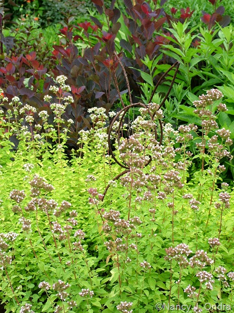 Origanum vulgare 'Aureum' July 2011