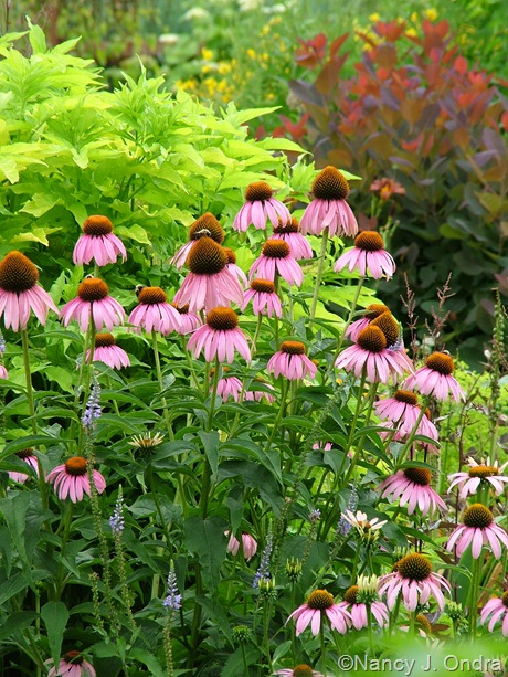 Echinacea purpurea and Veronica grandis against Sambucus nigra 'Aurea'