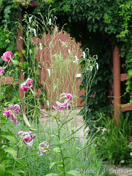 Lilium 'Black Dragon' with Sanguisorba tenuifolia var. alba mid-August 2011