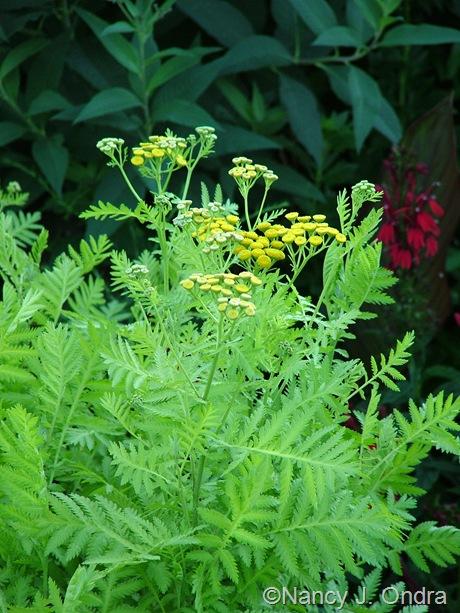 Tanacetum vulgare 'Isla Gold' mid-August 2011