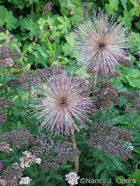 Allium and Achillea mid-August 2011