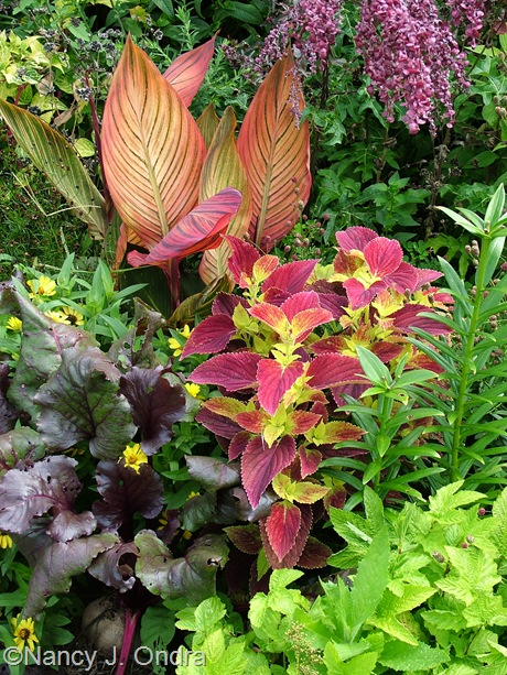 Solenostemon (Coleus) 'Bellingrath Pink' with Beta vulgaris 'Bull's Blood' and Canna 'Phaison' mid-August 2011
