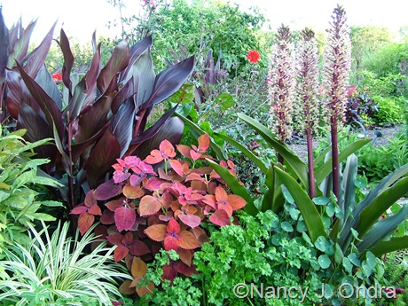 Coleus 'Sedona' with Canna 'Australia' and Eucomis comosa 'Oakhurst' mid-August 2011