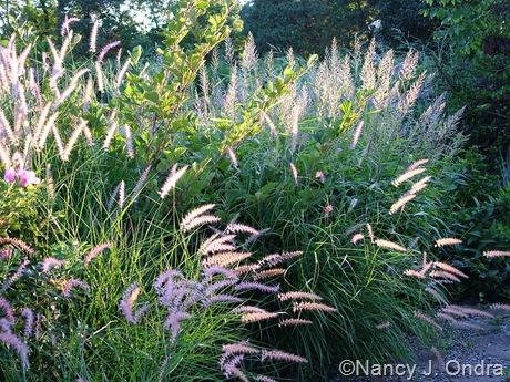 Pennisetum orientale 'Karley Rose' mid-August 2011