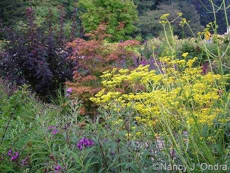 Patrinia scabiosifolia with unnamed Acer palmatum and Physocarpus opulifolius 'Monlo' (Diabolo) mid-August 2011