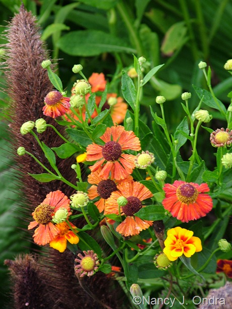 Helenium 'Coppelia' with Pennisetum glaucum 'Jade Princess' mid-August 2011