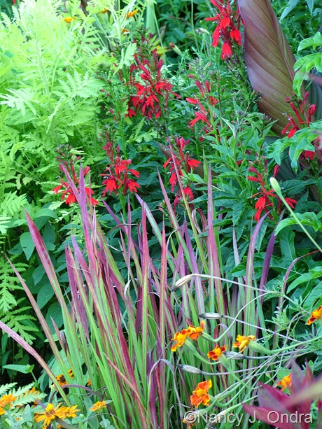 Lobelia cardinalis with Imperata cylindrica 'Rubra', Canna, Tagetes, and Tanacetum vulgare 'Isla Gold' mid-August 2011