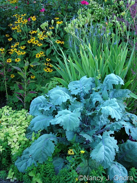Kale 'Russian Red' with Rudbeckia fulgida var. fulgida and Iris domestica mid-August 2011