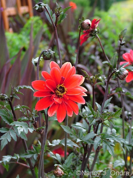 Dahlia 'Bishop of Llandaff' mid-August 2011