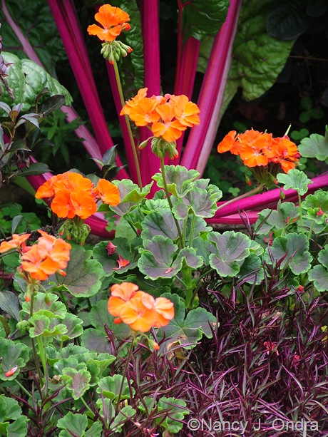 Pelargonium x hortorum 'Black Velvet Scarlet' with Alternanthera and 'Neon Glow' chard mid-August 2011