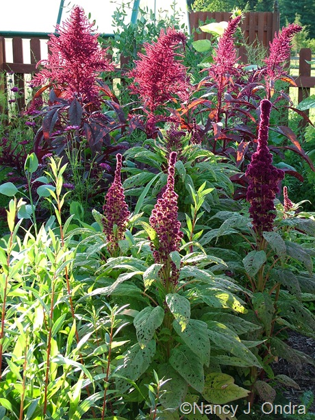 Amaranthus 'Elephant's Head' and 'Hopi Red Dye' mid-August 2011
