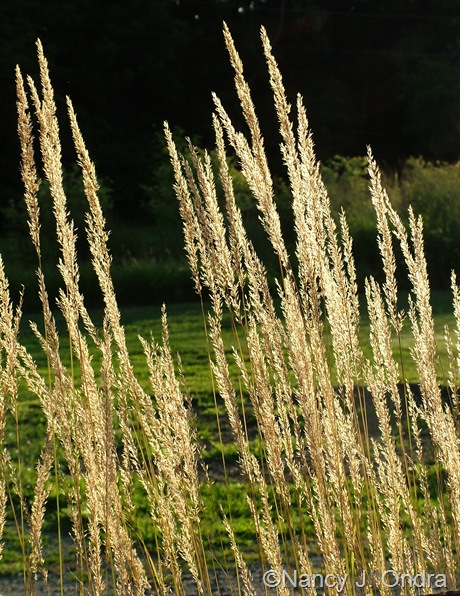 Calamagrostis x acutiflora 'Karl Foerster' mid-August 2011