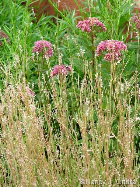 Schizachyrium scoparium with Eutrochium (Eupatorium) dubium mid-August 2011