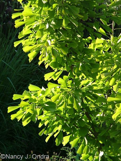 Ginkgo biloba 'Saratoga' mid-August 2011