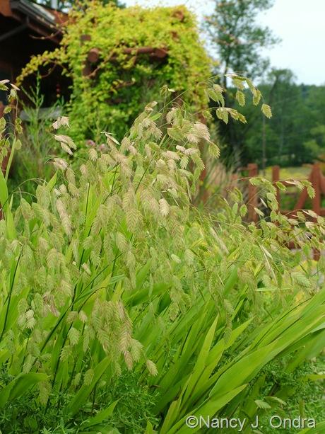 Chasmanthium latifolium mid-August 2011
