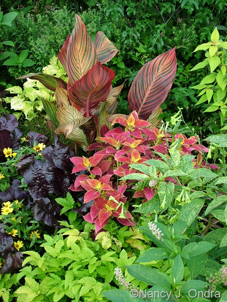 Canna 'Phaison' (Tropicanna) with Solenostemon 'Bellingrath Pink', Phytolacca americana 'Silberstein', Filipendula ulmaria 'Aurea', and Beta vulgaris 'Bull's Blood' September 2011