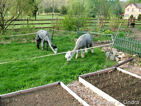 Alpacas grazing in The Orchard at Hayefield April 15 10