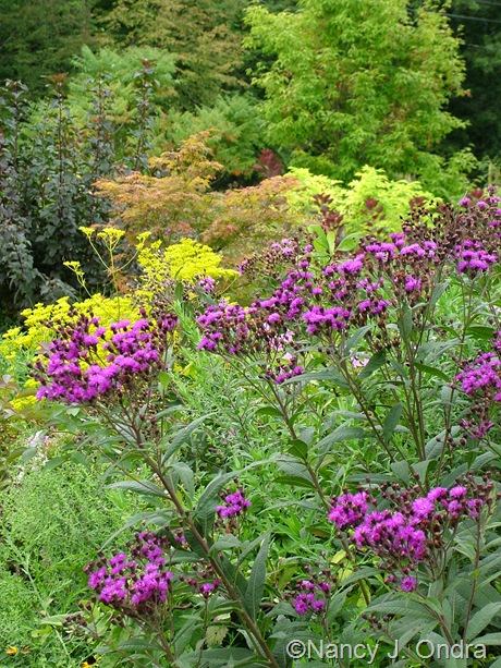 Vernonia September 2011