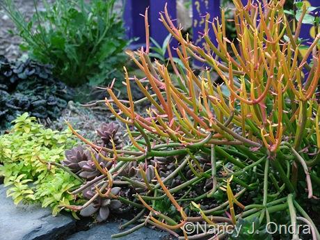 Euphorbia tirucalli September 2011