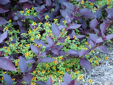 Alternanthera 'Purple Knight' with Sanvitalia procumbens 'Mandarin Orange'