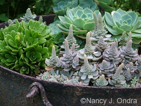 Orostachys iwarenge, Orostachys malacophylla, and Echeveria glauca September 2011