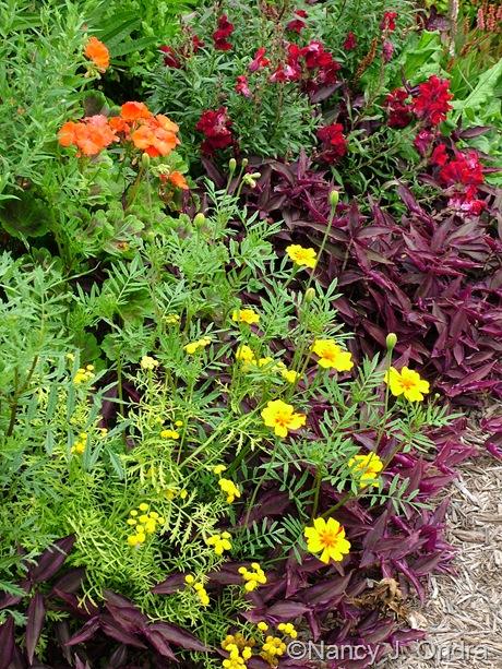 "Tagetes ""from Villandry"" with Tanacetum vulgare 'Isla Gold', Pelargonium 'Black Velvet Scarlet', Antirrhinum majus 'Black Prince', and Tradescantia zebrina September 2011"